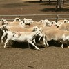 140 x Dorper Ewe Lambs - Station Mated