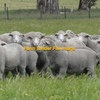 Approx 140 7-8 month old Dohne Ewe Lambs
