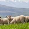 Mecardo Analysis - China increasing share of New Zealand's Lamb