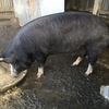 Pure Berkshire Sow