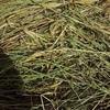 Barley & Rye  50/50% Hay Round Bales - 2000 Approx Bales,