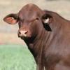 Lawson, Weebollabolla, Santahat, Telpara Hills and Talana Bull Sale results