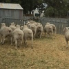 Composite Rams 3 in 1 Texel/ White Suffolk/ Poll Dorset