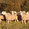 2018 Pepperton Poll Dorset Rams For Sale - High Lambplan Carcase Plus and Eating Quality Index