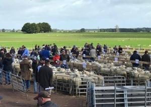 Massive day for Chrome Sheep Studs  - Gross over $900k