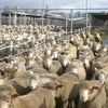 "Sheep Producers Australia endorse change to the definition of ""Lamb"""