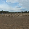 160 Merino Wether Lambs for Sale