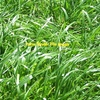Wholesale Ryegrass Seed