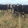 DAIRY HEIFERS JOINED TO CALVE APPROXIMATELY 10TH AUGUST