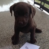 FOR SALE Pure Bred Chocolate Labrador Pups