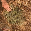 Vetch Hay For Sale in 8x4x3's 640Kgs Bales weights