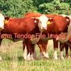 Hereford Store Steers x ( 4 ) Wanted