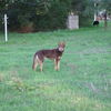 Kelpie male pup 1yr old started ready to be trained