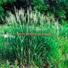 Phalaris Pasture Seed x 6,500 KG's
