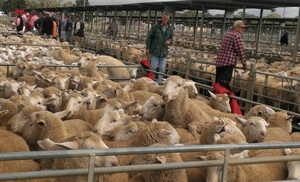 Buyers paid for quality Lambs at Bendigo