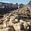 Animated bidding on Lambs at Wagga Wagga