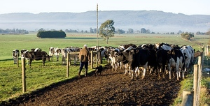 Revived Brunswick Cheese Factory good for WA Dairy Industry