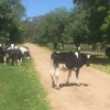 Half Grown Friesian Steers For Sale - Approx 30 Available