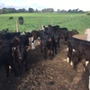weaner calves for sale at nilma