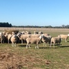 80 Pure Bred Border Leicester Ewes