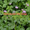 Shaftal Persian Clover (or annual clover) seed