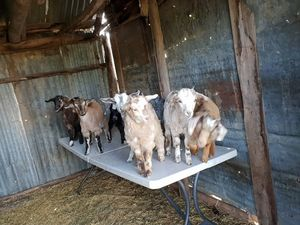 Miniature Goats for sale- Registered breeder