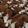 Mecardo Analysis - Young cattle demand dries up, again