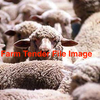 Merino Mixed Sex Lambs Wanting 1000 Head Approx.