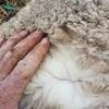 450 Merino Ewe Lambs