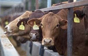 Cattle on feed 10 percent up for December 2019 quarter