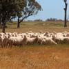 155 x Mixed aged Wallaloo Park merino ewes