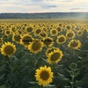 200mt Black Sunflowers - off irrigation