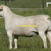 4 x Dorper Ram Lambs For Sale - Full Shedders and Pure Bred