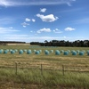 Rye/wheaten silage rounds