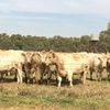 Murray Grey heifers