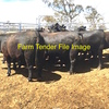 WANTED - Single Deck load,  EU accredited Angus heifers Ready to join