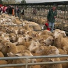 Widening price spread between export and domestic/supermarket Lambs at Bendigo