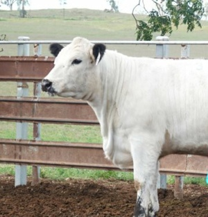 JAD and Naracoorte Bull and Female sale results