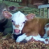 CopRice Complete Beef Cow maintenance