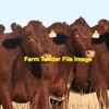 60 Cows In Store Conditioned 7-8 YRS Old British Or bosindicus Prefer Line.