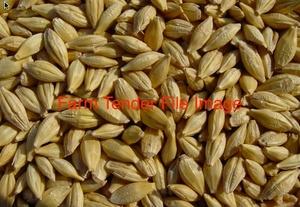 Barley Grain. Early sown