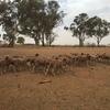 262 merino wether lambs