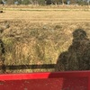 1200 Small Square Bales of Sub Clover Hay
