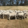 Aussie White Rams