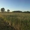 Top Quality Rye Grass Hay in Rolls