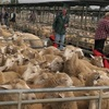 Light weight Lambs dearer in a strong market at Bendigo
