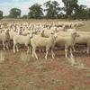 400 Border Leicester Merino X Ewe Lambs