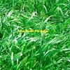 Wimmera Annual Ryegrass x 9,500  KG's