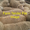 WANTED  Ewe Lambs / Hoggets  1500 - 2000 - In truck loads. Preferably in South West Vic.