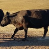 Angus Cows - Due to Calve Late Oct.